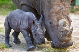 Baby White Rhinoceros