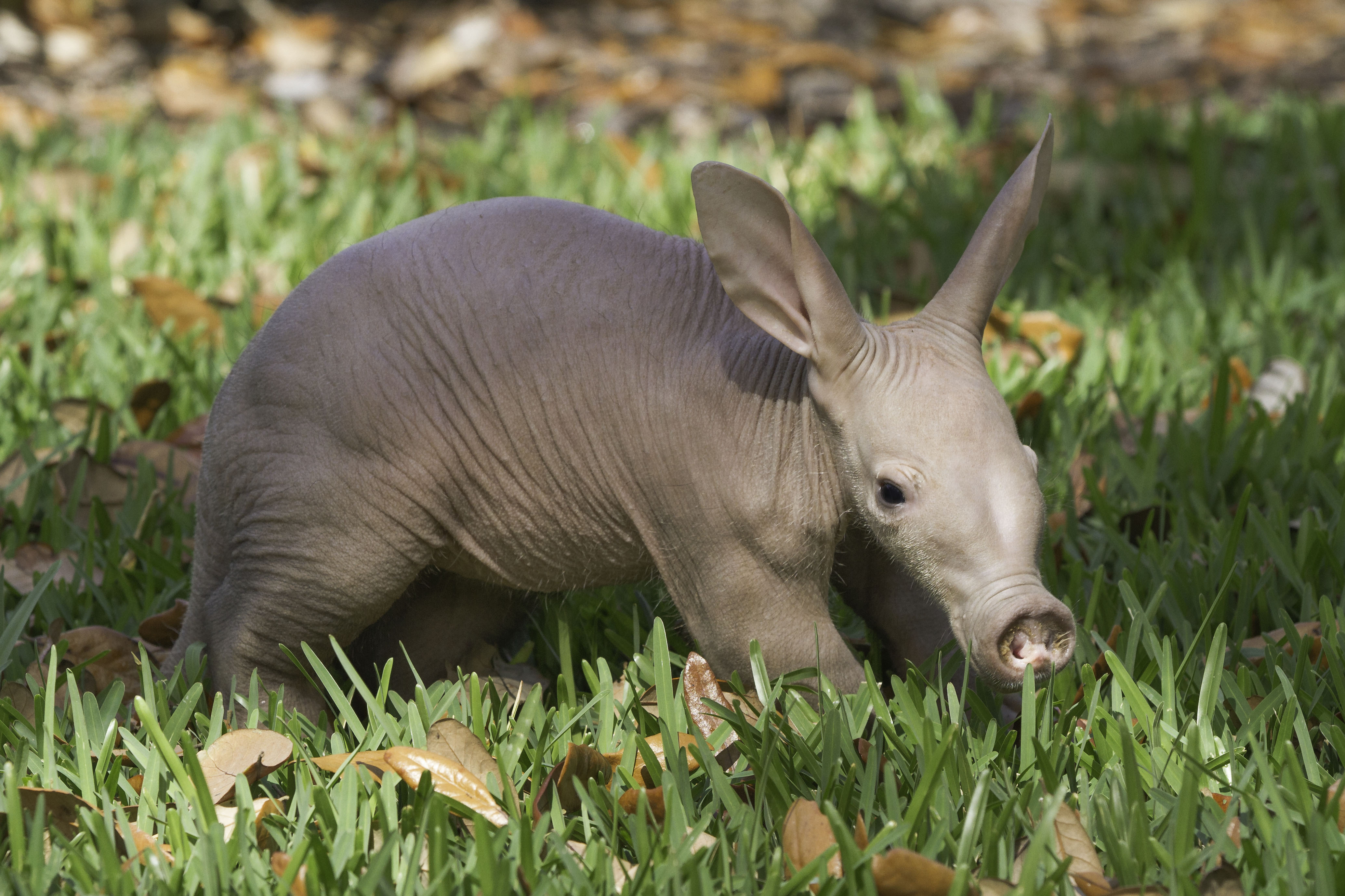 Busch Gardens Tampa Baby Aardvark Feb 2013 2 On The Go
