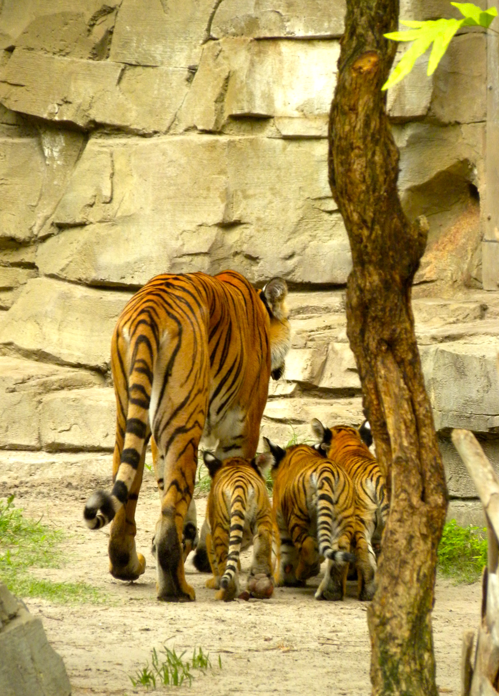Endangered Malayan Tiger Cubs and Mom on Jungala Habitat 2 Busch ...