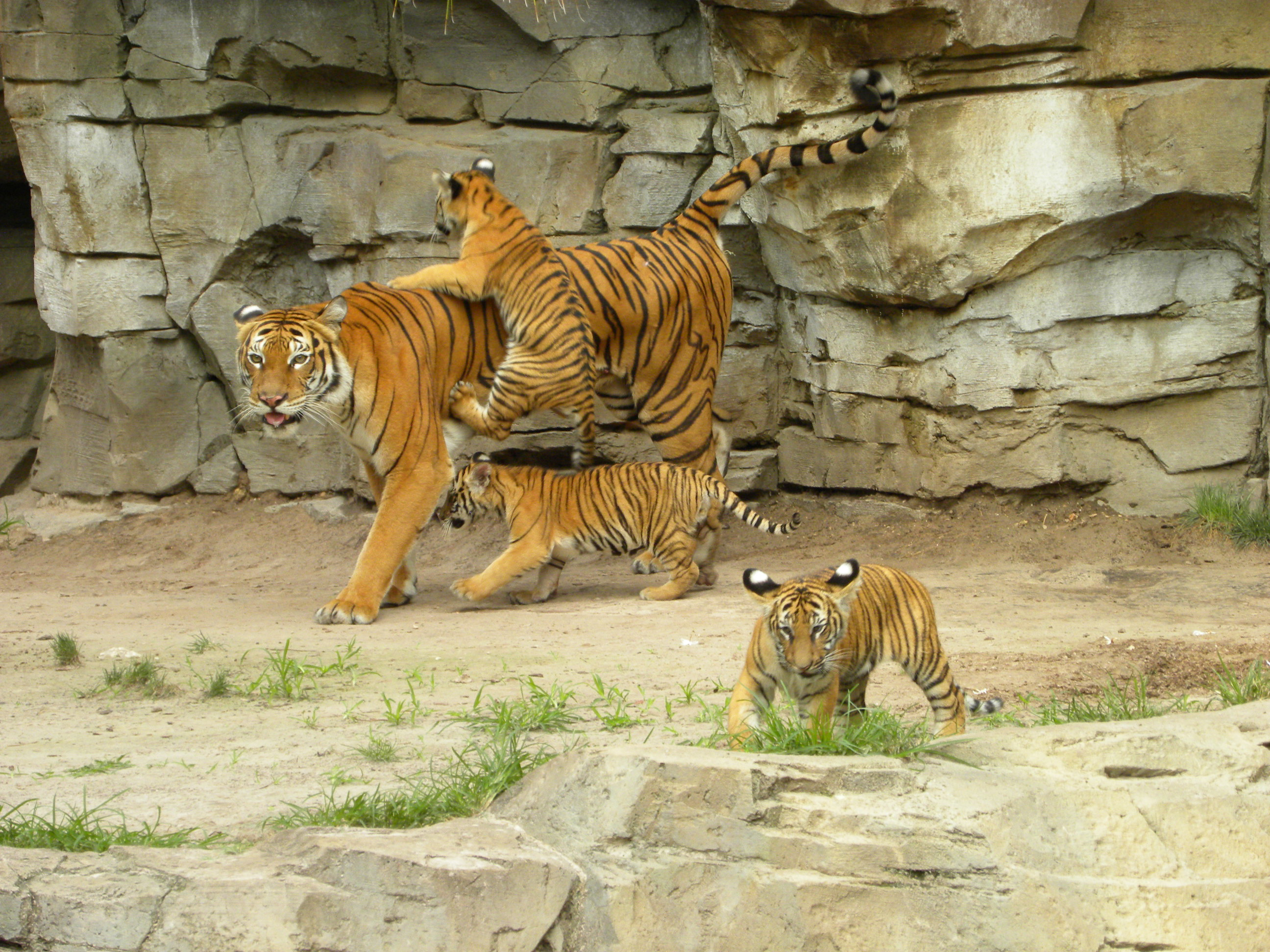 Endangered Malayan Tiger Cubs and Mom on Jungala Habitat Busch ...
