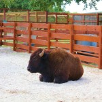 Buffalo at the petting farm