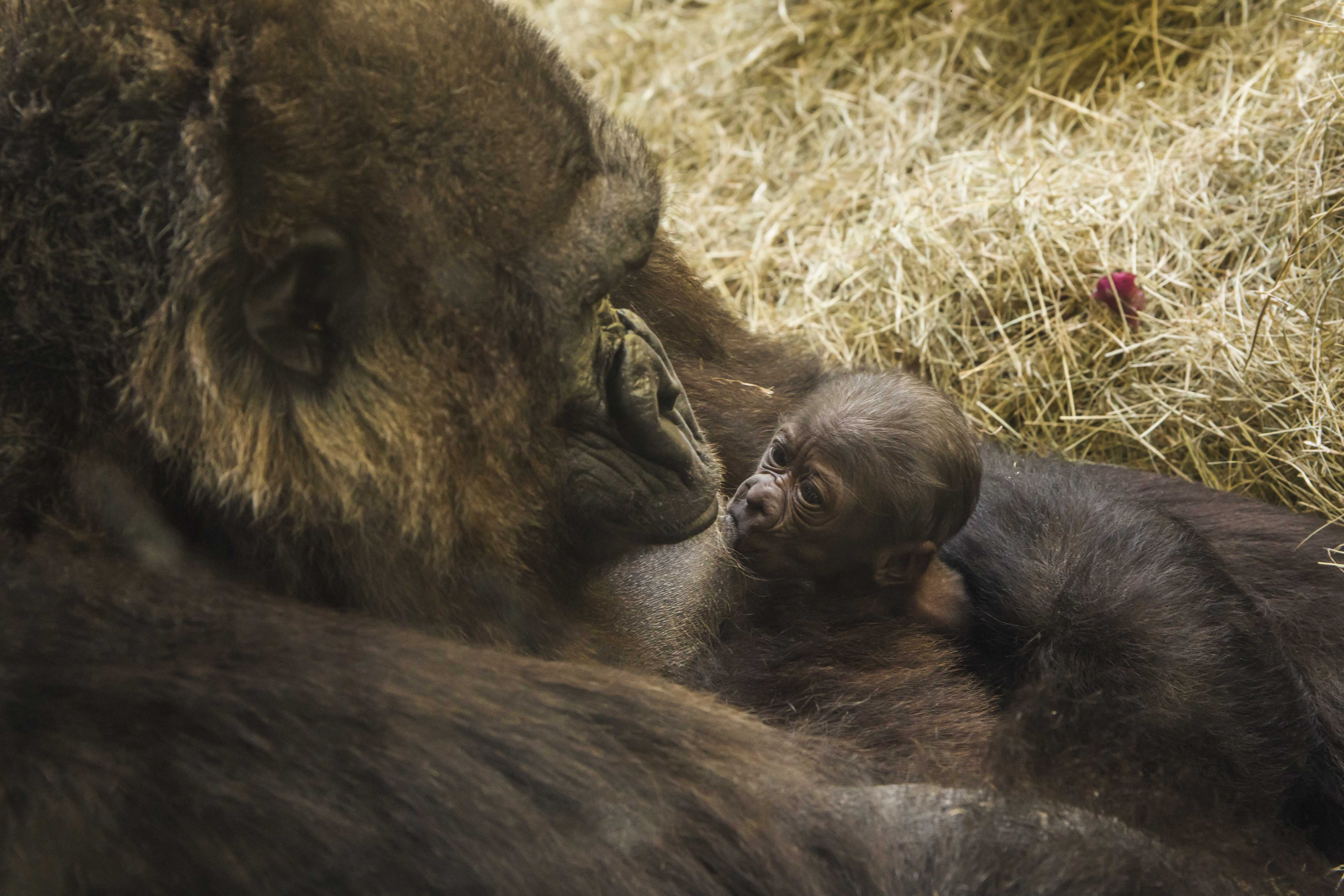 Busch Gardens Tampa Welcomes Baby Gorilla - On the Go in MCO