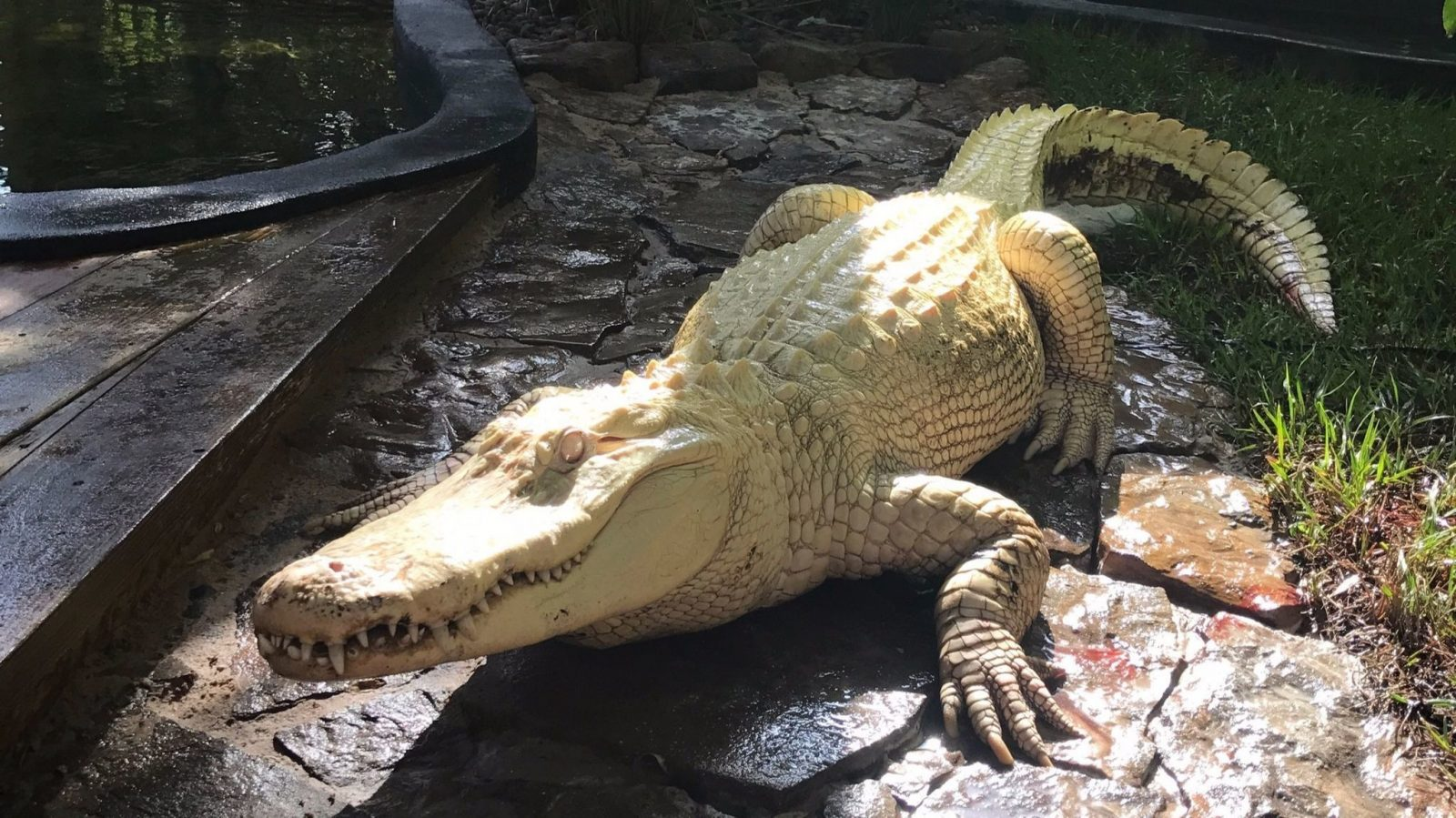 Wild Florida Albino Alligator