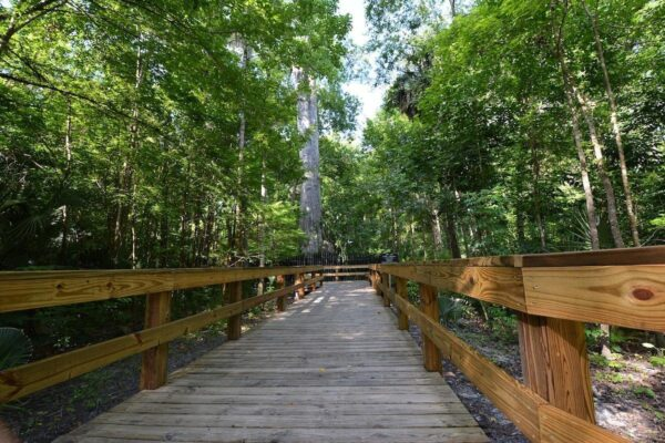 On the Go In MCO Explore the Great Outdoors Big Tree Park Boardwalk